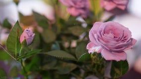 Όμορφα ρόδινα τριαντάφυλλα κινηματογραφήσεων σε πρώτο πλάνο στο φυσικό φως Στοκ Φωτογραφίες