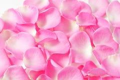 όμορφα ρόδινα τριαντάφυλλα πετάλων Στοκ Φωτογραφία