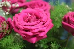 όμορφα ρόδινα τριαντάφυλλ&alp στοκ φωτογραφίες με δικαίωμα ελεύθερης χρήσης