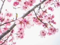 Όμορφα ρόδινα χαρωπά άνθη Στοκ Φωτογραφίες