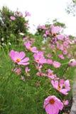 Όμορφα ρόδινα χρώματα των λουλουδιών κόσμου στον κήπο στο υπόβαθρο πάρκων Στοκ φωτογραφία με δικαίωμα ελεύθερης χρήσης