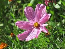 Όμορφα ρόδινα cosmees, οικογένεια μαργαριτών, asteraceae στοκ εικόνες με δικαίωμα ελεύθερης χρήσης