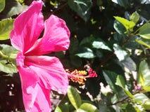 Όμορφα ρόδινα hibiscus σε έναν κήπο στοκ φωτογραφίες με δικαίωμα ελεύθερης χρήσης