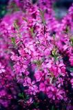 Όμορφα ρόδινα άνθη άνοιξη λουλουδιών Στοκ Εικόνες