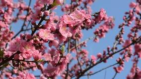 Όμορφα ρόδινα άνθη λουλουδιών δέντρων ροδακινιών στην Ιαπωνία κατά τη διάρκεια της άνοιξης του 2016 απόθεμα βίντεο