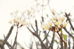 Όμορφα ρόδινα και κίτρινα λουλούδια frangipani στο υπαίθριο υπόβαθρο Στοκ φωτογραφίες με δικαίωμα ελεύθερης χρήσης