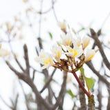 Όμορφα ρόδινα και κίτρινα λουλούδια frangipani στο υπαίθριο υπόβαθρο Στοκ φωτογραφία με δικαίωμα ελεύθερης χρήσης