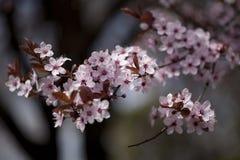 Όμορφα ρόδινα λουλούδια άνοιξη Στοκ Φωτογραφία