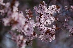 Όμορφα ρόδινα λουλούδια άνοιξη Στοκ Εικόνες
