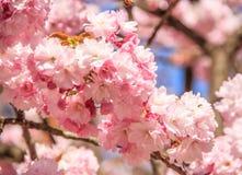 Όμορφα ρόδινα λουλούδια ανθών κερασιών κινηματογραφήσεων σε πρώτο πλάνο Στοκ φωτογραφίες με δικαίωμα ελεύθερης χρήσης