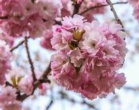 Όμορφα ρόδινα λουλούδια ανθών κερασιών κινηματογραφήσεων σε πρώτο πλάνο Στοκ φωτογραφία με δικαίωμα ελεύθερης χρήσης