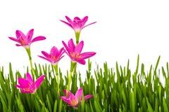 Όμορφα ρόδινα λουλούδια και φρέσκια πράσινη χλόη άνοιξη που απομονώνονται Στοκ φωτογραφία με δικαίωμα ελεύθερης χρήσης