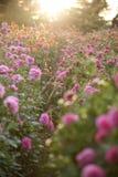 Όμορφα ρόδινα λουλούδια στο ηλιοβασίλεμα Στοκ Εικόνες