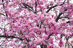 Όμορφα ρόδινα λουλούδια στο χρόνο άνοιξη Στοκ εικόνα με δικαίωμα ελεύθερης χρήσης