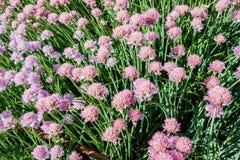 Όμορφα ρόδινα λουλούδια των φρέσκων κρεμμυδιών Schnitt Στοκ Εικόνες