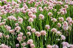 Όμορφα ρόδινα λουλούδια των φρέσκων κρεμμυδιών Schnitt Στοκ Φωτογραφία