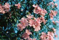 Όμορφα ρόδινα λουλούδια Στοκ Φωτογραφία