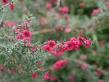 Όμορφα ρόδινα λουλούδια Στοκ Εικόνα
