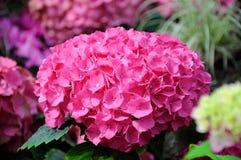 Όμορφα ρόδινα λουλούδια hydrangea Στοκ Εικόνες