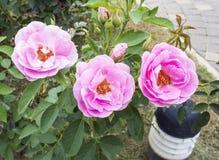 Όμορφα ρόδινα τριαντάφυλλα στον κήπο λουλουδιών Στοκ Φωτογραφία