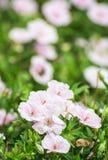 Όμορφα ρόδινα hibiscus λουλούδια, ομορφιά στη φύση Στοκ εικόνες με δικαίωμα ελεύθερης χρήσης