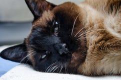 Όμορφα σιαμέζα βλέμματα γατών στοργικά στη κάμερα στοκ φωτογραφία