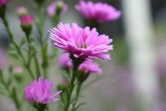 Όμορφα στενά επάνω ρόδινα λουλούδια λουλουδιών στον κήπο Στοκ Εικόνες