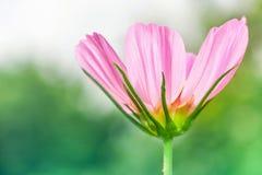 όμορφα στενά λουλούδια &epsil Στοκ φωτογραφία με δικαίωμα ελεύθερης χρήσης