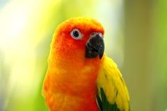 όμορφα στενά conures πουλιών επάνω κίτρινα Στοκ Εικόνες