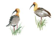 Όμορφα συρμένα χέρι γκρίζα πουλιά στη χλόη στο άσπρο υπόβαθρο, ζωγραφική watercolor ελεύθερη απεικόνιση δικαιώματος