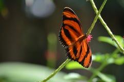 Όμορφα σχέδια χρώματος σε μια δρύινη πεταλούδα τιγρών Στοκ Εικόνες