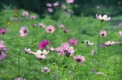 Όμορφα της ρόδινης μαργαρίτας τα λουλούδια με το φυσικό φως σταθμεύουν δημόσια σε Chiang Mai, Ταϊλάνδη στοκ εικόνες με δικαίωμα ελεύθερης χρήσης