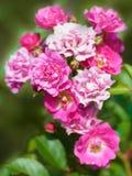Όμορφα τριαντάφυλλα ψεκασμού Στοκ Φωτογραφία