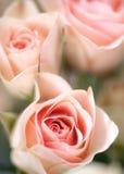 όμορφα τριαντάφυλλα Στοκ εικόνες με δικαίωμα ελεύθερης χρήσης