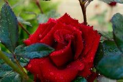 όμορφα τριαντάφυλλα Στοκ Εικόνες