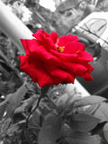 όμορφα τριαντάφυλλα Στοκ Φωτογραφία
