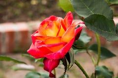 Όμορφα τριαντάφυλλα colurful Στοκ εικόνα με δικαίωμα ελεύθερης χρήσης
