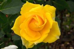 Όμορφα τριαντάφυλλα colurful Στοκ εικόνες με δικαίωμα ελεύθερης χρήσης