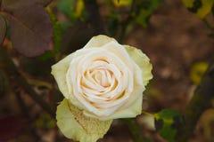 Όμορφα τριαντάφυλλα colurful Στοκ Φωτογραφίες