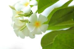 Όμορφα τροπικά λουλούδια plumeria Στοκ φωτογραφία με δικαίωμα ελεύθερης χρήσης