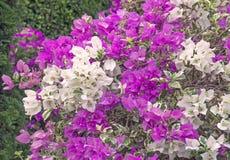 Όμορφα τροπικά λουλούδια ρόδινο Plumeria στο φυσικό υπόβαθρο Στοκ εικόνες με δικαίωμα ελεύθερης χρήσης