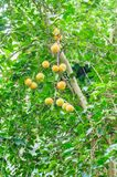 Όμορφα τροπικά φρούτα οπωρώνων Πολλά πορτοκαλιά φρούτα στο πράσινο δέντρο στοκ εικόνες