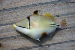 Όμορφα τροπικά ψάρια από τη Ερυθρά Θάλασσα Στοκ εικόνα με δικαίωμα ελεύθερης χρήσης