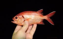 Όμορφα τροπικά ψάρια από τη Ερυθρά Θάλασσα Στοκ Φωτογραφίες