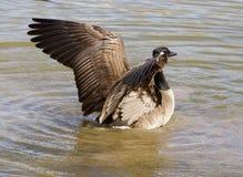 όμορφα φτερά Στοκ Εικόνες