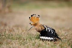 όμορφα φτερά hoopoe στοκ εικόνες