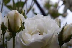 Όμορφα φυσικά άσπρα τριαντάφυλλα Στοκ Εικόνες