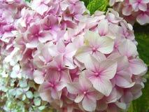 Όμορφα φυσικά ρόδινα λουλούδια σφαιρών Hydrangea στοκ εικόνα
