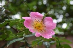 Όμορφα φυσικά ρόδινα και άσπρα τριαντάφυλλα με τις πτώσεις νερού Στοκ εικόνες με δικαίωμα ελεύθερης χρήσης