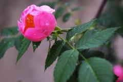 Όμορφα φυσικά ρόδινα και άσπρα τριαντάφυλλα με τις πτώσεις νερού Στοκ Φωτογραφία